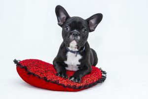 baby Bulldog on red pillow