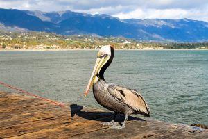 pelican on California pier