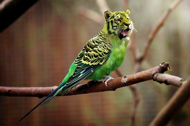 parakeet with tiger head